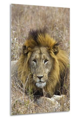 A Male Lion Rests in Grass at the Phinda Game Reserve-Steve Winter-Metal Print