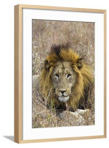 A Male Lion Rests in Grass at the Phinda Game Reserve-Steve Winter-Framed Art Print