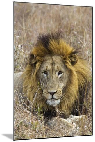 A Male Lion Rests in Grass at the Phinda Game Reserve-Steve Winter-Mounted Photographic Print
