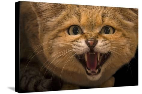 A Male Sand Cat, Felis Margarita, at the Chattanooga Zoo-Joel Sartore-Stretched Canvas Print