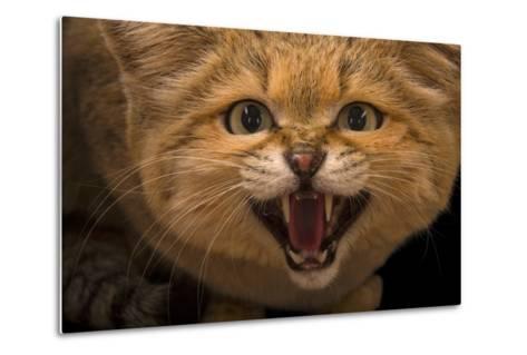 A Male Sand Cat, Felis Margarita, at the Chattanooga Zoo-Joel Sartore-Metal Print