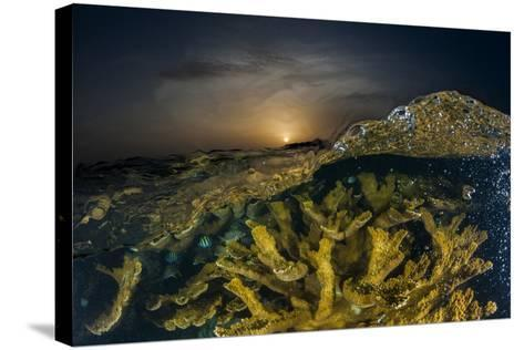 Submerged Endangered Elkhorn Coral in Garden of the Queen National Marine Park-David Doubilet-Stretched Canvas Print