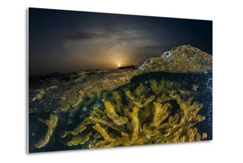 Submerged Endangered Elkhorn Coral in Garden of the Queen National Marine Park-David Doubilet-Metal Print
