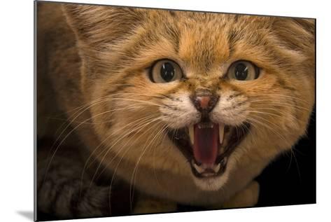 A Male Sand Cat, Felis Margarita, at the Chattanooga Zoo-Joel Sartore-Mounted Photographic Print