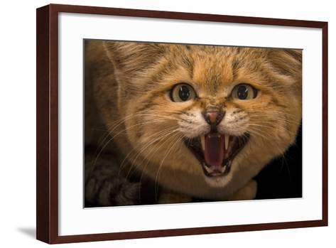 A Male Sand Cat, Felis Margarita, at the Chattanooga Zoo-Joel Sartore-Framed Art Print