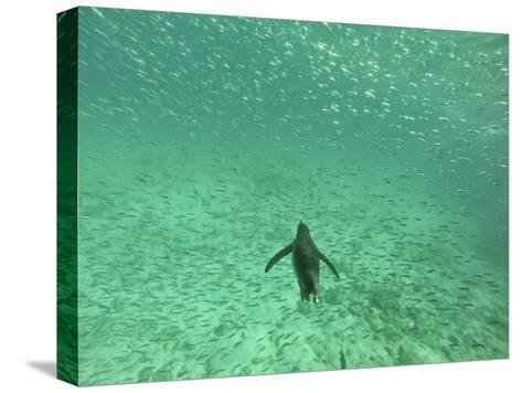 A Galapagos Penguin, Spheniscus Mendiculus, Swimming Underwater with School of Fish-Kike Calvo-Stretched Canvas Print