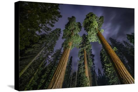 Giant Sequoia Trees in the Old Growth Forest of California's Sequoia National Park-Keith Ladzinski-Stretched Canvas Print