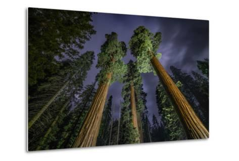 Giant Sequoia Trees in the Old Growth Forest of California's Sequoia National Park-Keith Ladzinski-Metal Print