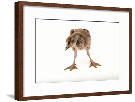 A Vulnerable Five Week Old Female Nene Goose at the Sylvan Heights Bird Park-Joel Sartore-Framed Art Print