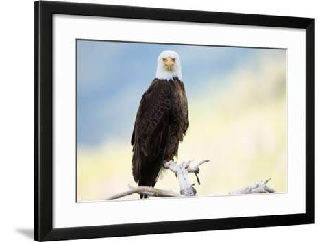 A Bald Eagle Perches on a Tree Branch-Charlie James-Framed Art Print