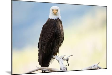 A Bald Eagle Perches on a Tree Branch-Charlie James-Mounted Photographic Print