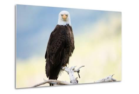 A Bald Eagle Perches on a Tree Branch-Charlie James-Metal Print