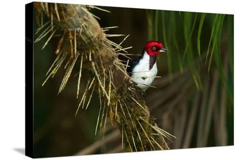 A Red Capped Cardinal in Yasuni National Park-Steve Winter-Stretched Canvas Print