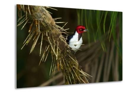 A Red Capped Cardinal in Yasuni National Park-Steve Winter-Metal Print