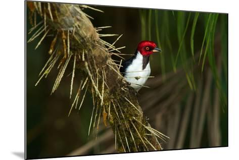 A Red Capped Cardinal in Yasuni National Park-Steve Winter-Mounted Photographic Print