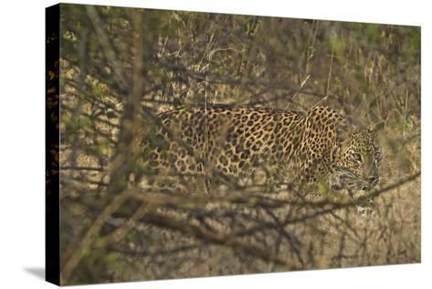 A Leopard Walking in Yala National Park-Steve Winter-Stretched Canvas Print