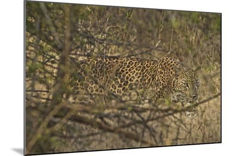 A Leopard Walking in Yala National Park-Steve Winter-Mounted Photographic Print