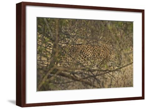 A Leopard Walking in Yala National Park-Steve Winter-Framed Art Print