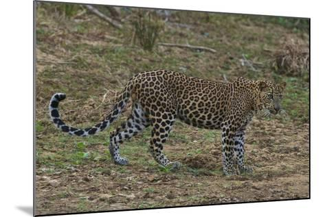 An Alert Leopard in Yala National Park-Steve Winter-Mounted Photographic Print