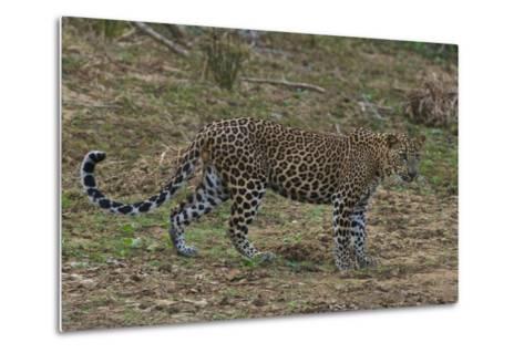 An Alert Leopard in Yala National Park-Steve Winter-Metal Print