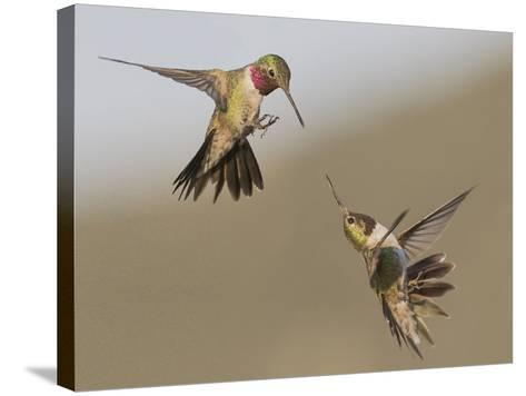 A Broadtail and a Rufous Hummingbird Fight over Who Owns the Bird Feeder-Richard Seeley-Stretched Canvas Print