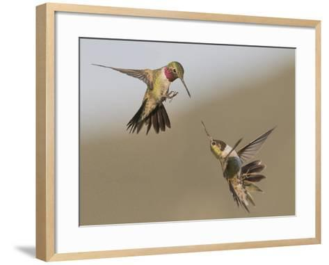 A Broadtail and a Rufous Hummingbird Fight over Who Owns the Bird Feeder-Richard Seeley-Framed Art Print