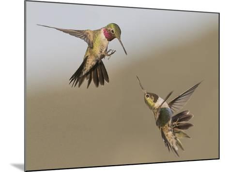 A Broadtail and a Rufous Hummingbird Fight over Who Owns the Bird Feeder-Richard Seeley-Mounted Photographic Print