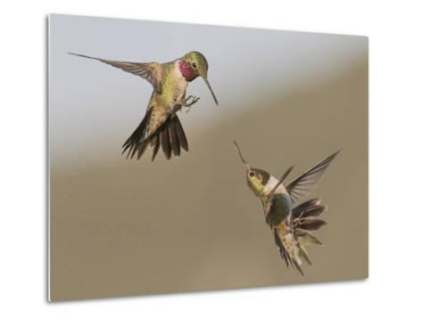 A Broadtail and a Rufous Hummingbird Fight over Who Owns the Bird Feeder-Richard Seeley-Metal Print