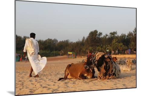 Two Cows, Bos Taurus, Resting on the Sand at Baga Beach-Jill Schneider-Mounted Photographic Print