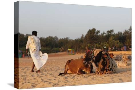 Two Cows, Bos Taurus, Resting on the Sand at Baga Beach-Jill Schneider-Stretched Canvas Print