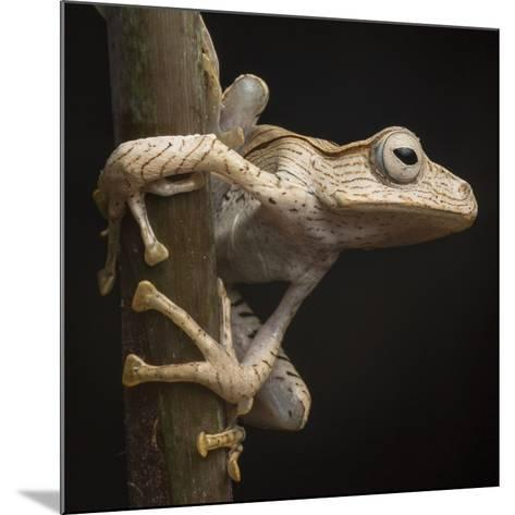 A Borneo Eared Frog, Polypedates Otilophus, Rests on a Tree Branch-Robin Moore-Mounted Photographic Print