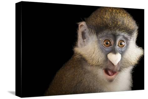 A Schmidt's Red Tailed Guenon, Cercopithecus Ascanius Schmidti, at the Houston Zoo-Joel Sartore-Stretched Canvas Print