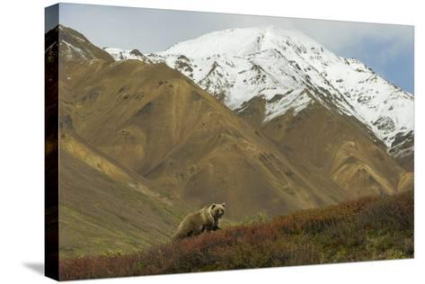 A Grizzly Bear Hunts for Berries on a Ridge with a Snowcapped Denali in the Distance-Barrett Hedges-Stretched Canvas Print