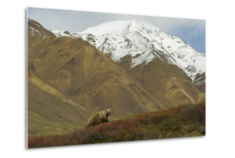 A Grizzly Bear Hunts for Berries on a Ridge with a Snowcapped Denali in the Distance-Barrett Hedges-Metal Print