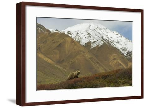 A Grizzly Bear Hunts for Berries on a Ridge with a Snowcapped Denali in the Distance-Barrett Hedges-Framed Art Print