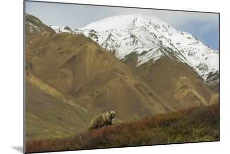 A Grizzly Bear Hunts for Berries on a Ridge with a Snowcapped Denali in the Distance-Barrett Hedges-Mounted Photographic Print