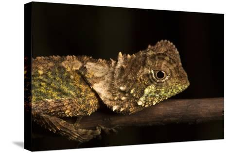 A Lizard Rests on a Tree Branch-Robin Moore-Stretched Canvas Print