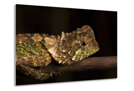 A Lizard Rests on a Tree Branch-Robin Moore-Metal Print