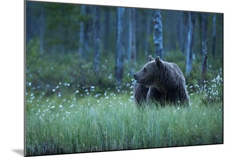 A European Brown Bear, Ursus Arctos, Walking in the Forest at Night, Kuhmo, Finland-Sergio Pitamitz-Mounted Photographic Print