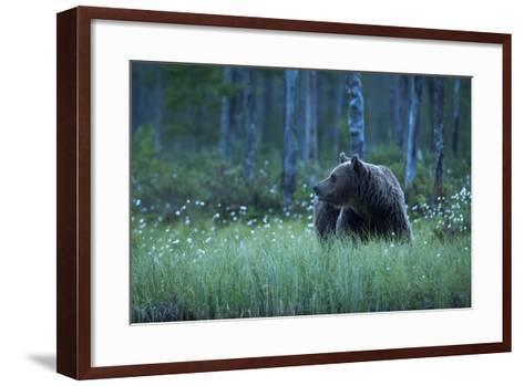 A European Brown Bear, Ursus Arctos, Walking in the Forest at Night, Kuhmo, Finland-Sergio Pitamitz-Framed Art Print