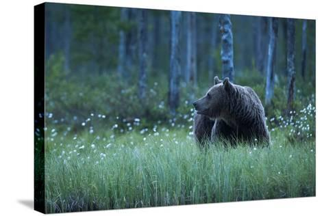 A European Brown Bear, Ursus Arctos, Walking in the Forest at Night, Kuhmo, Finland-Sergio Pitamitz-Stretched Canvas Print