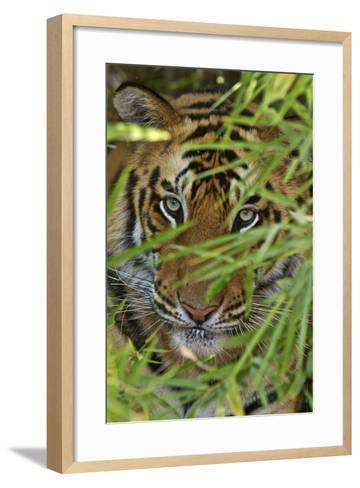 A Bengal Tiger Hidden by Bamboo Leaves-Steve Winter-Framed Art Print