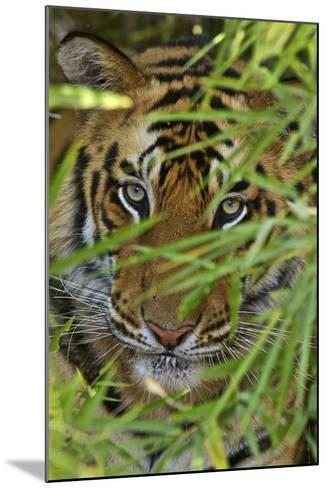 A Bengal Tiger Hidden by Bamboo Leaves-Steve Winter-Mounted Photographic Print