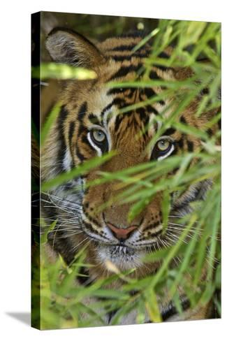 A Bengal Tiger Hidden by Bamboo Leaves-Steve Winter-Stretched Canvas Print