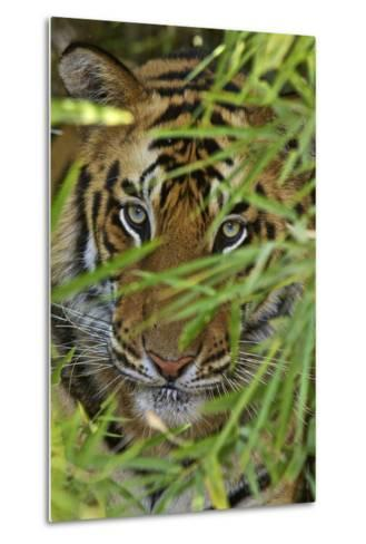 A Bengal Tiger Hidden by Bamboo Leaves-Steve Winter-Metal Print