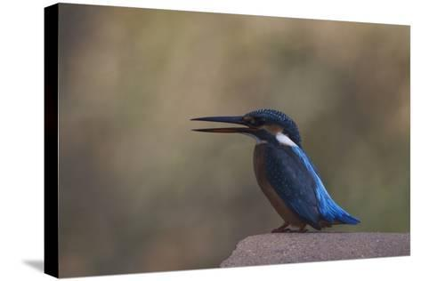 A Female Common Kingfisher Perching in Bandhavgarh National Park-Steve Winter-Stretched Canvas Print