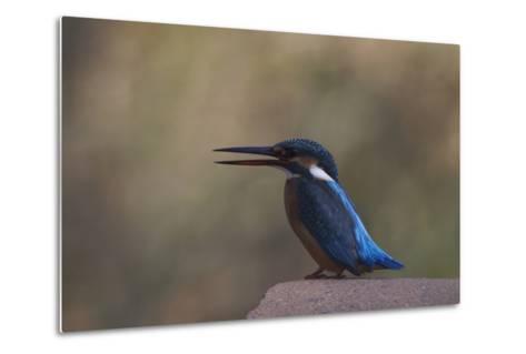 A Female Common Kingfisher Perching in Bandhavgarh National Park-Steve Winter-Metal Print
