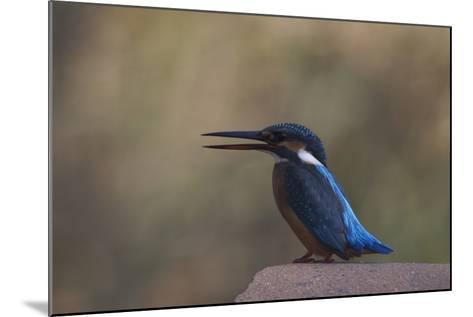 A Female Common Kingfisher Perching in Bandhavgarh National Park-Steve Winter-Mounted Photographic Print