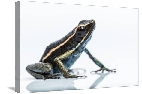A New Species of Poison Dart Frog Belongs to the Genus Ameerega-Charlie James-Stretched Canvas Print