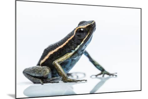 A New Species of Poison Dart Frog Belongs to the Genus Ameerega-Charlie James-Mounted Photographic Print